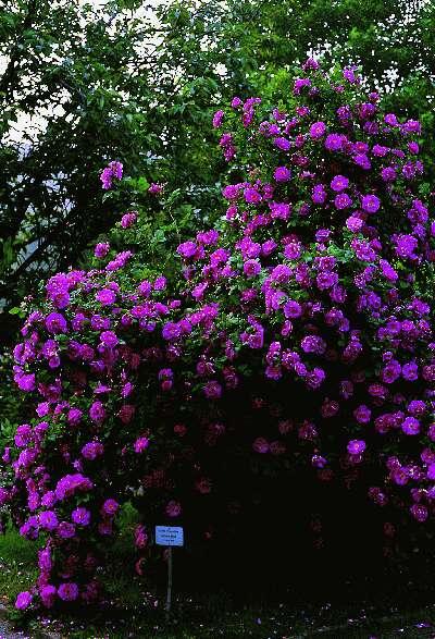 rose rosen roses de deutschland l 39 allemagne germany zweibr cken. Black Bedroom Furniture Sets. Home Design Ideas